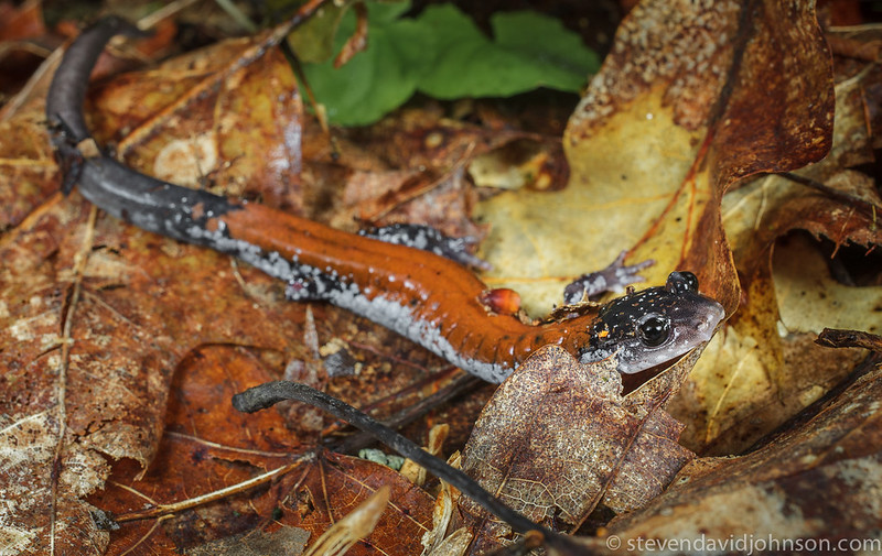 Yonahlossee Salamander, Jefferson National Forest