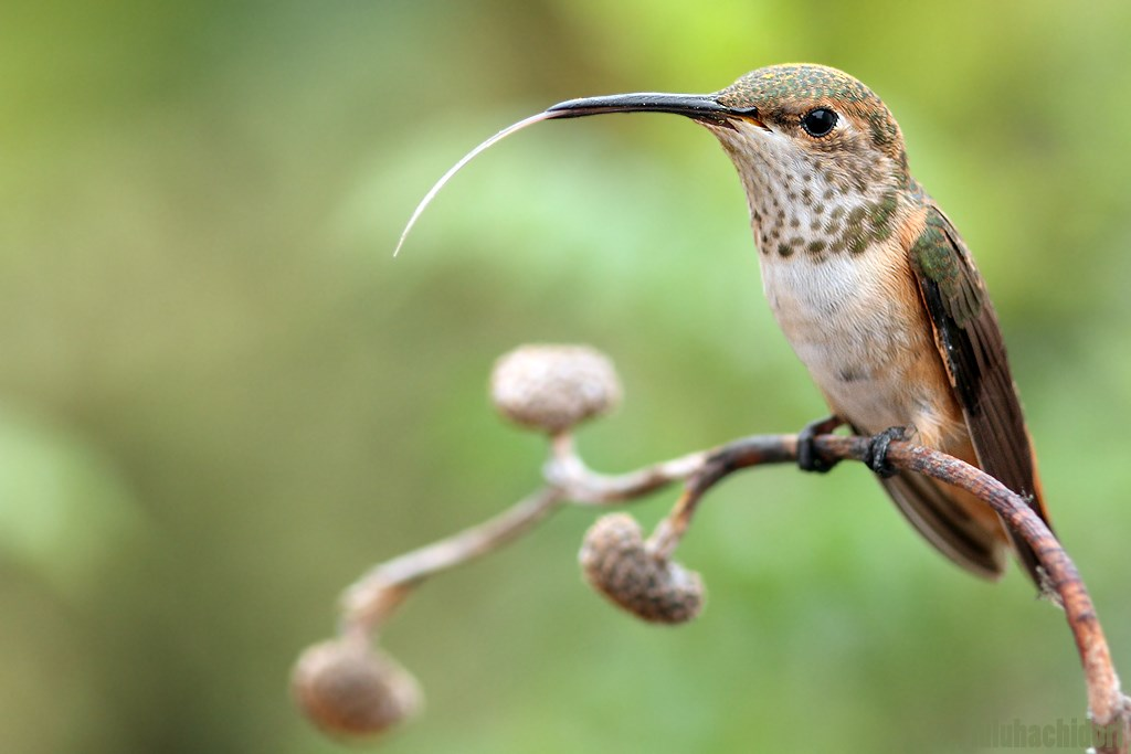 Hummingbird Tongue 090714