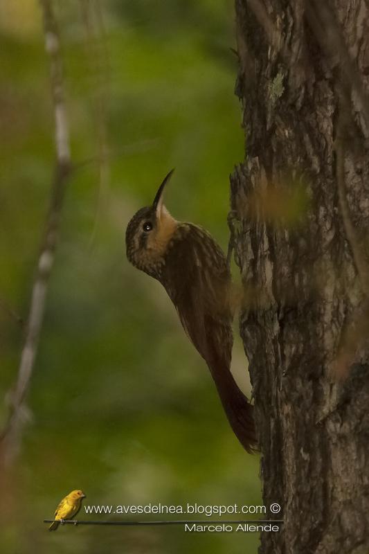 Chinchero enano (Lesser Woodcreeper) Xiphorhynchus fuscus