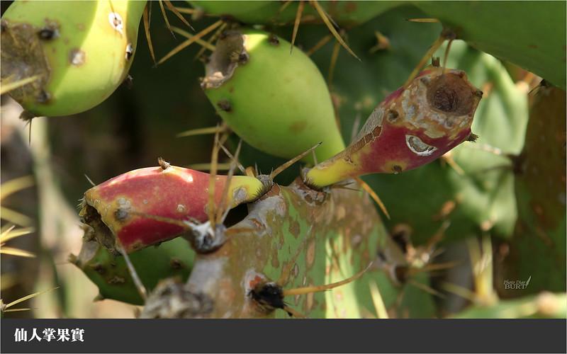 仙人掌果實
