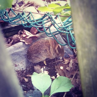 Itty bitty baby bunny in our yard... Hope he finds Mom soon. #OurWildAnimalKingdom #bunny #babyanimals #wildlife #rabbit #toocute #love