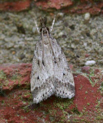 Eudonia pallida Tophill Low NR, East Yorkshire July 2014