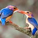 Pygmy Kingfisher feeding young by margaret.westrop