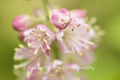 wPink_blossom