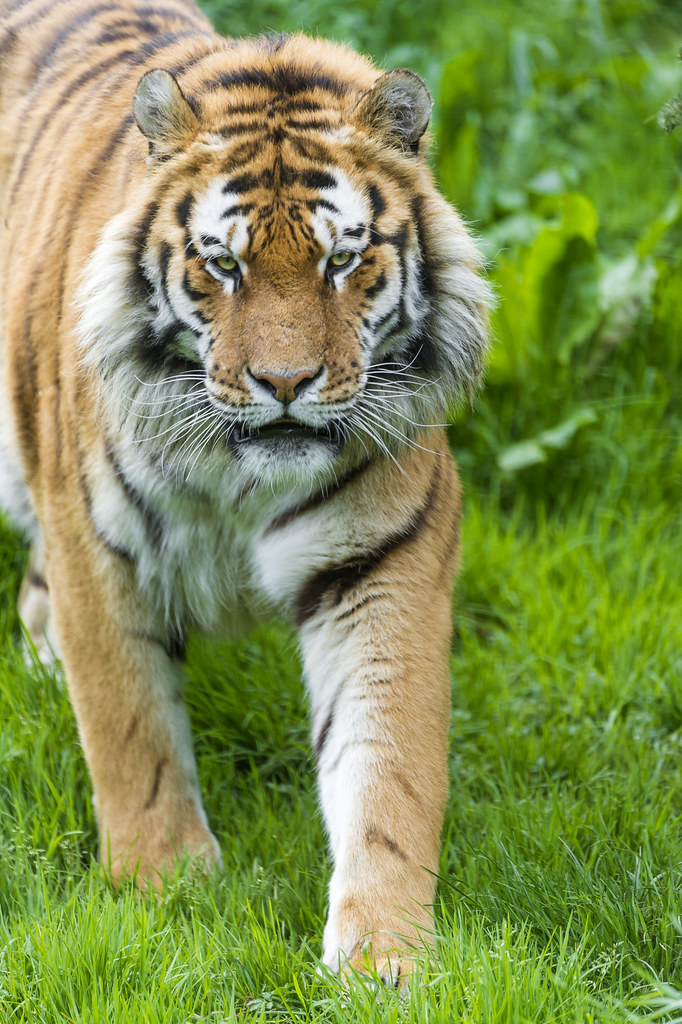 Male Siberian tiger looking at me and walking