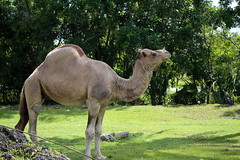 DROMERARY CAMEL