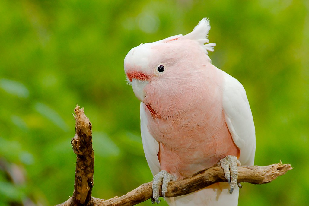 Major Michell's Cockatoo (Cacatua leadbeateri)_1