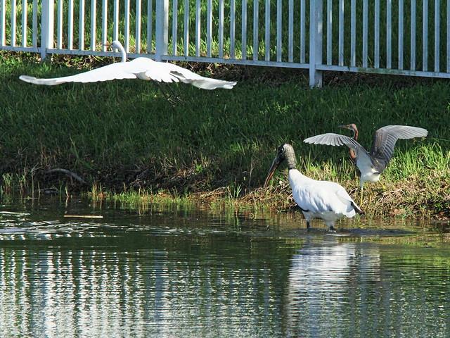 Stork and herons relocate 2-20140912