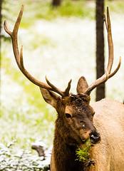animal, antler, deer, nature, horn, fauna, elk, wildlife,