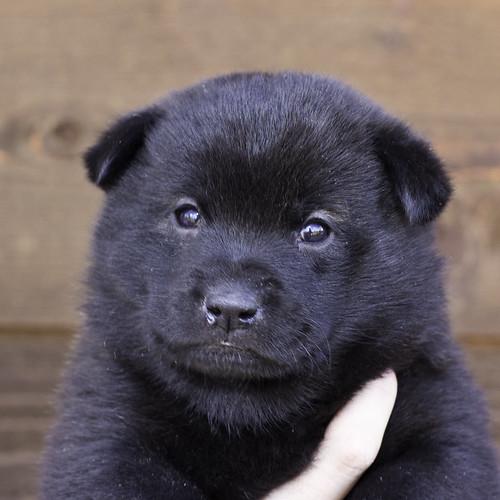 Nori-Litter2-30Days-Puppy3(female)a