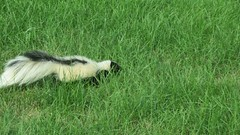 skunk, animal, prairie, grass, fauna, meadow, grassland, wildlife,