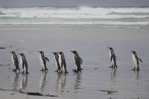 penguins antarctica malvinas falklands gettyimages mcmanus kingpenguins volunteerpoint