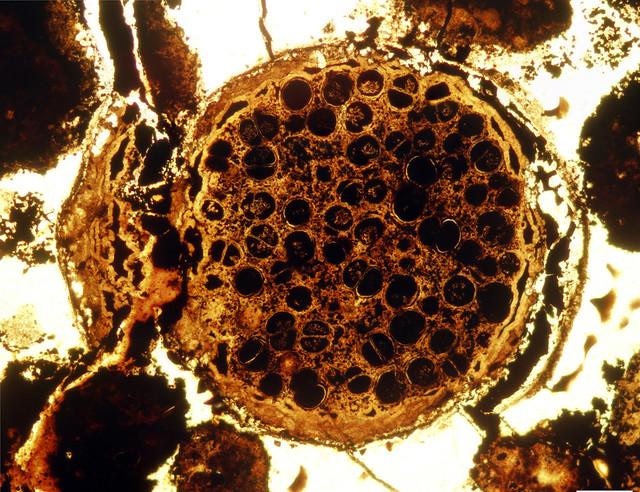 MegaclonophycusWithDyads1