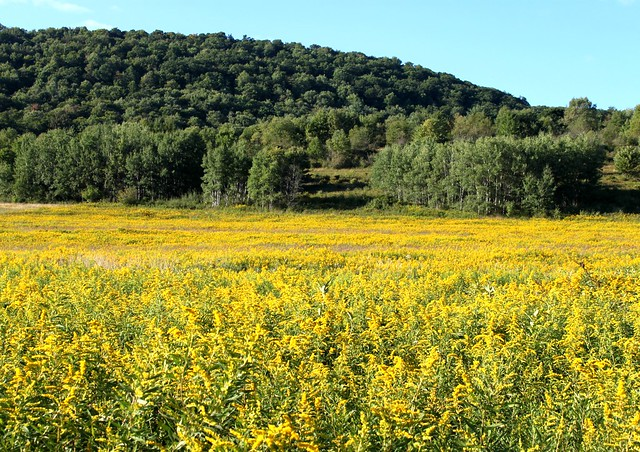 Goldenrod Everywhere!