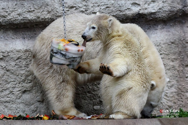 Eisbären Giovanna & Nela 2014_09_10 389
