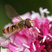 Marmalade hoverfly on Scabious flower #4