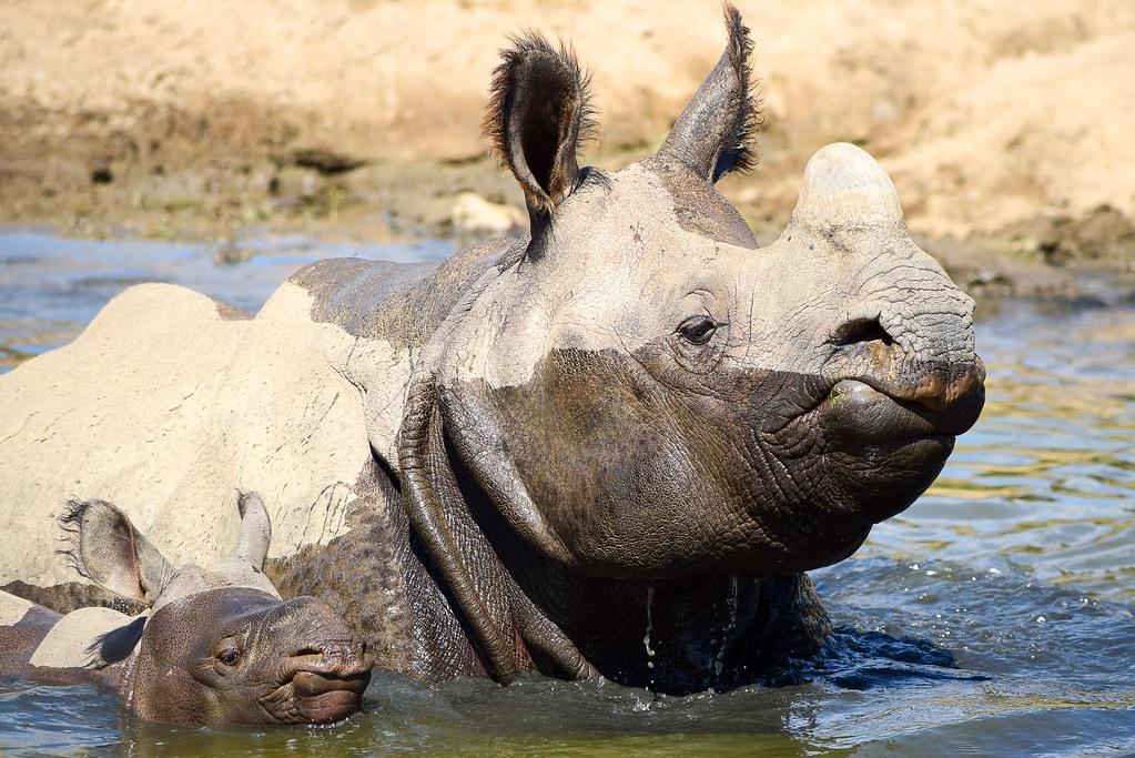 Greater one-horned rhino calf | Petunia