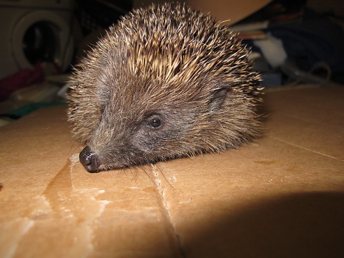 Hedgehog 0311