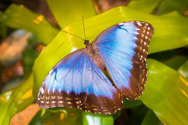 Butterfly, Blue, Common Blue Morpho,