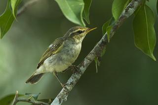 Greenish Warbler -Thailand_S4E7973