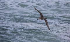 Herring Gull _MG_5097