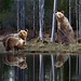 Brown Bears having a picnic