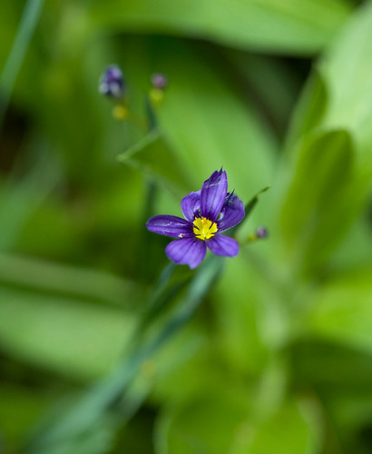 DSC_8953 sisyrinchium