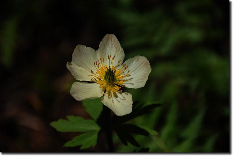 Globeflower 1