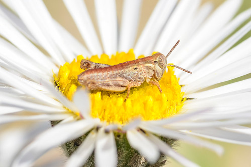 <p><i>Melanoplus</i> sp., Acrididae<br /> Ferry Point Landing, Alberta, Canada<br /> Nikon D5100, 105 mm f/2.8<br /> June 22, 2014</p>