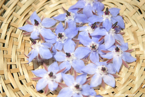 Borage flowere in a basket IMG_0893