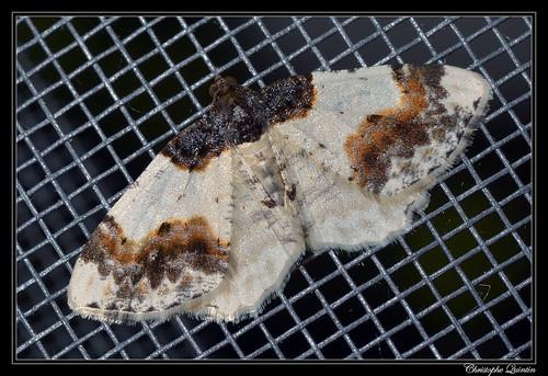 Phalène du Fusain (Ligdia adustata)