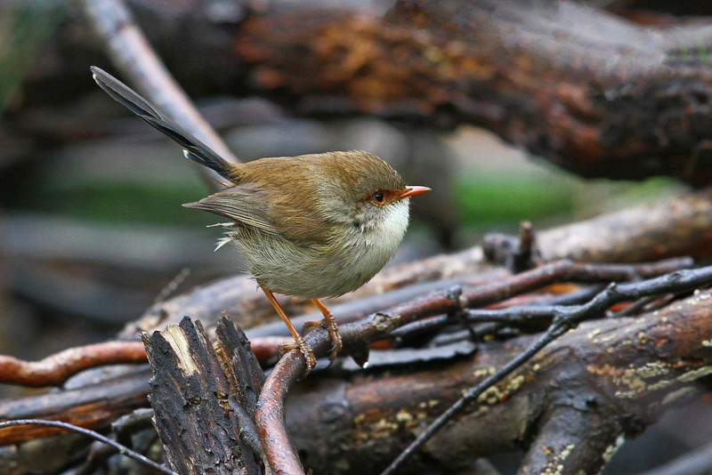 Superb Fairy-wren N Bartlett