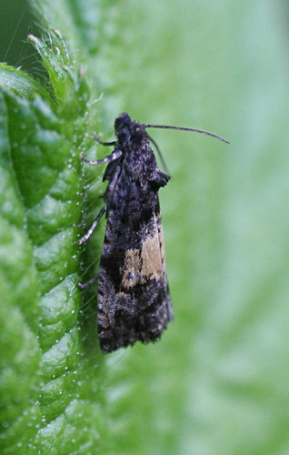 Endothenia nigricostana Tophill Low NR, East Yorkshire June 2014