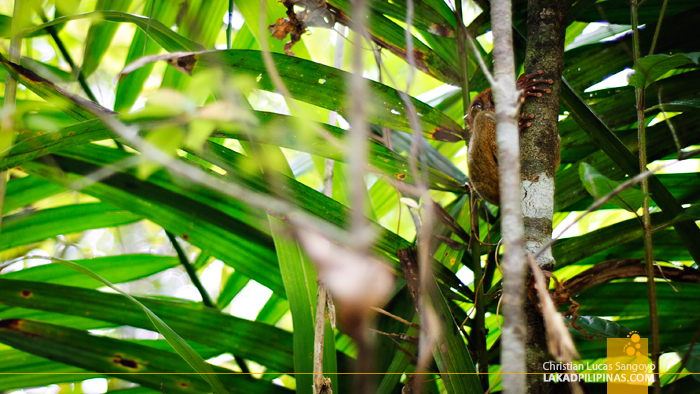 A Tarsier at the Philippine Tarsier & Wildlife Sanctuary in Bohol