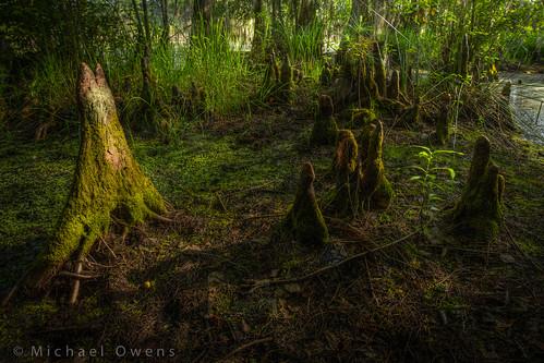 county morning green georgia moss pond cypress knees wetland bulloch sphagnum leefarm