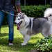 An Alaskan Malamute taking some time off from the show... by Siam_K