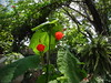 Turk's Cap in the shade garden