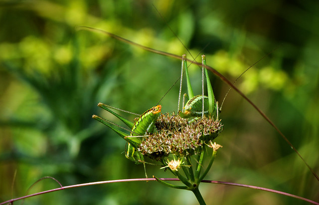 Пластинохвост точечный / Speckled bush-cricket / Leptophyes punctatissima