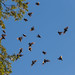 Kottaraiset parveilevat / Starlings are flocking
