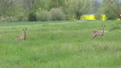 animal, prairie, deer, fauna, meadow, pasture, grassland, wildlife,
