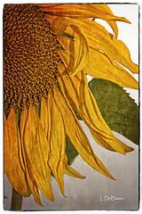 John's Sunflower-1