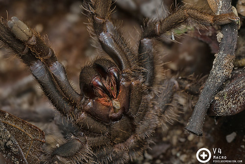 An angry tarantula (Coremiocnemis sp. ♀)