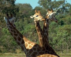Giraffa triheadopardalis