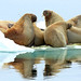 Walruses on an ice floe (Bret Charman)