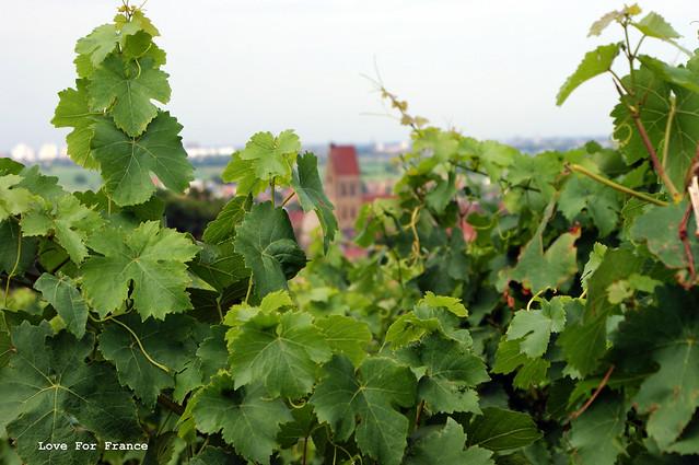 Sentier Viticole d'Eguisheim