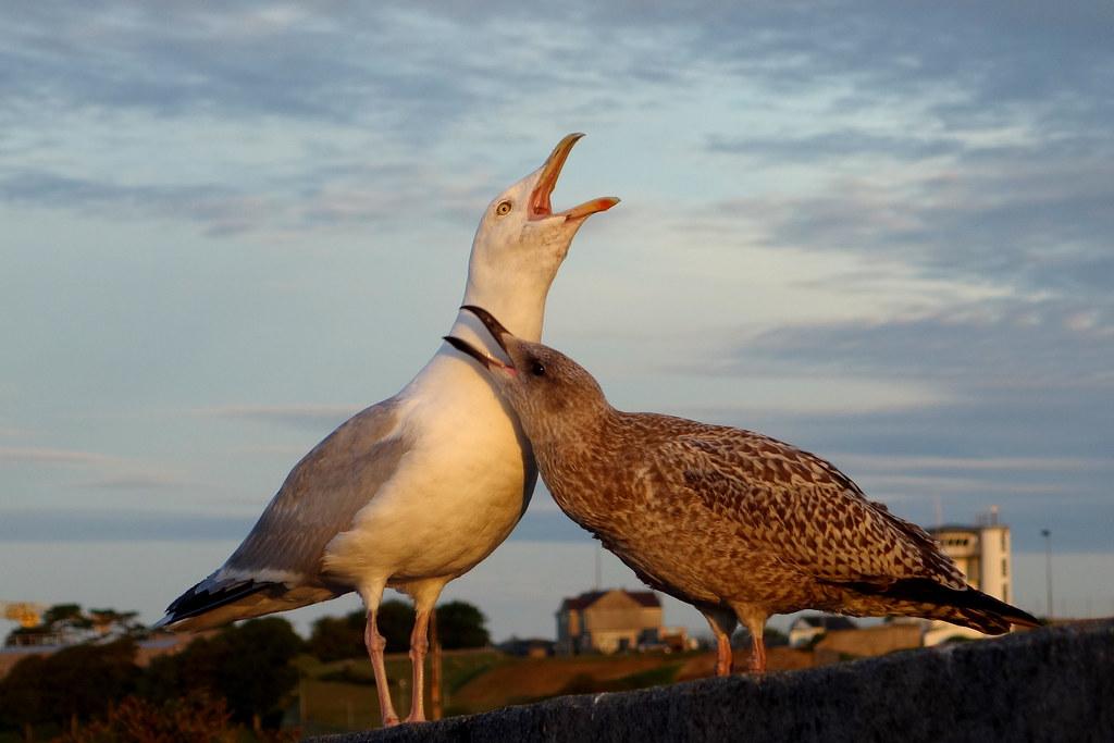 plymouth_DSC02937 Sea gulls