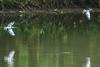 Kingfisher Pursuit