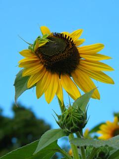 sunFlower2a