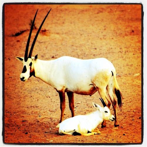 sunset wild animal square desert wildlife lofi squareformat magichour oryx babyanimal animallife inst arabianoryx iphoneography instagramapp uploaded:by=instagram