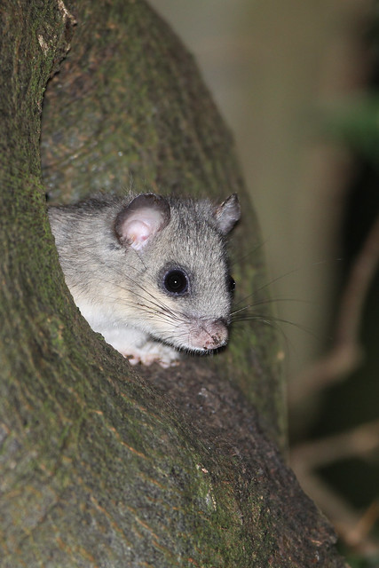 2014_09_05_Edible_Dormouse (3)
